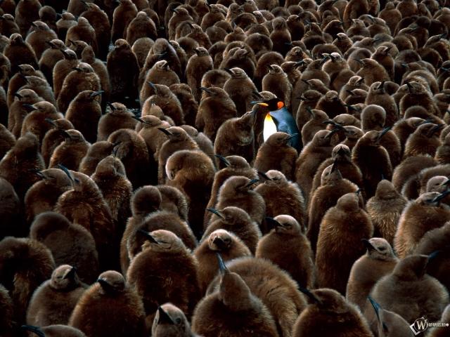 Пингвин среди серых пингвинов