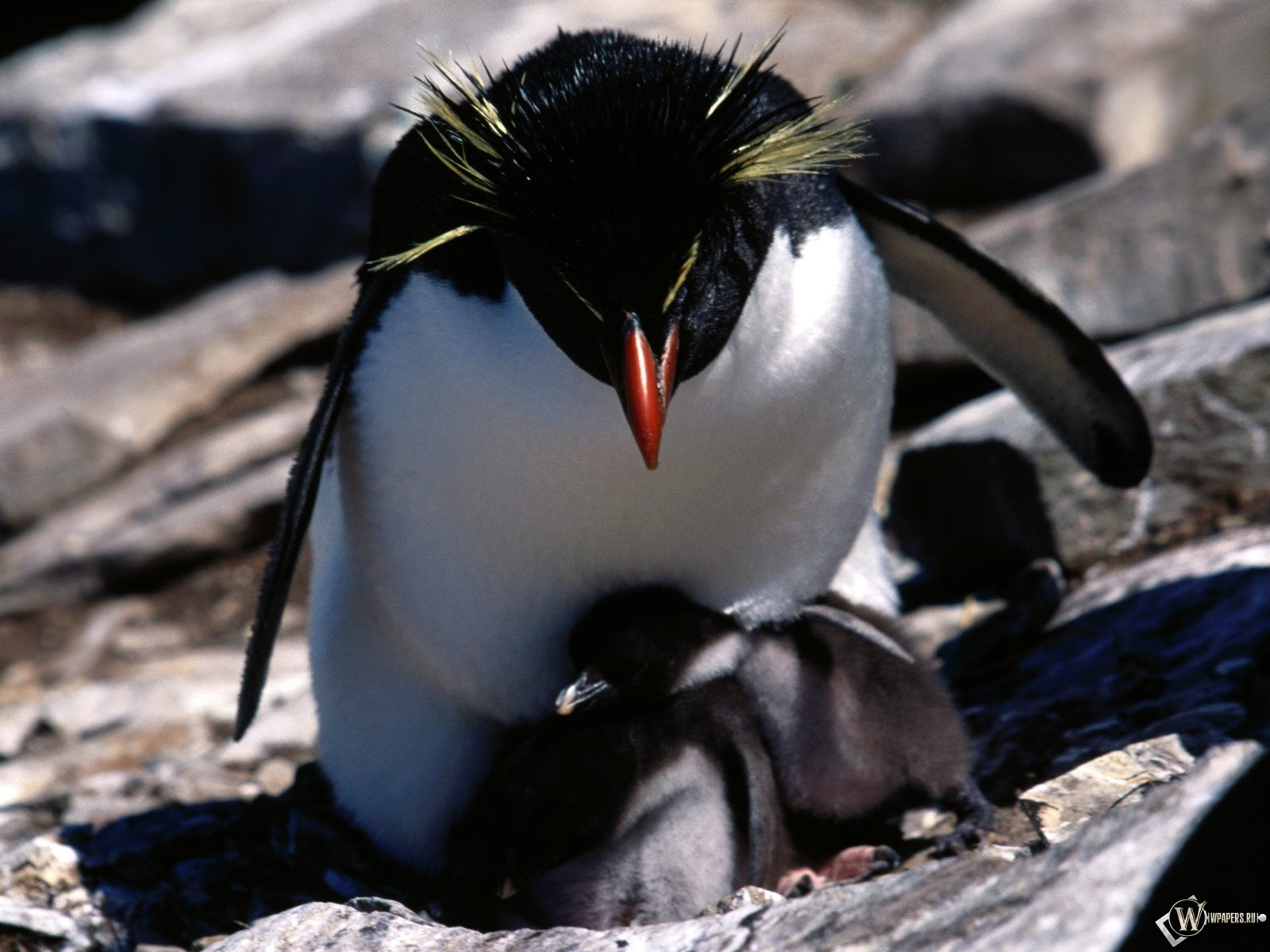Пингвин с детенышами 1600x1200