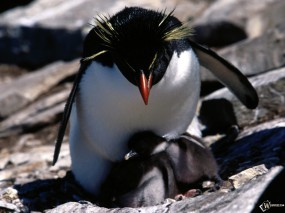Обои Пингвин с детенышами: , Пингвины