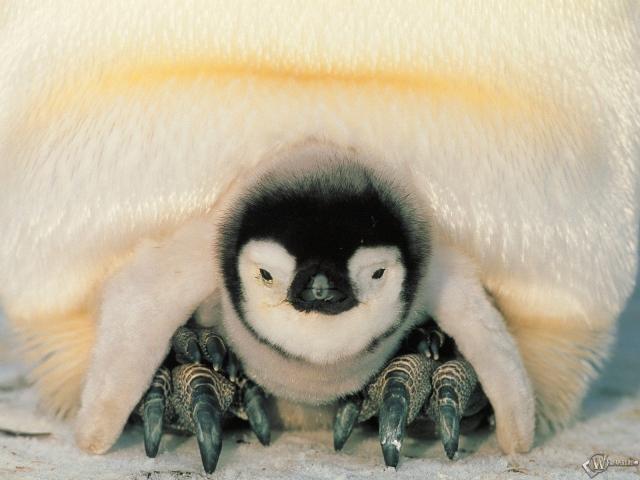 Детеныш пингвина