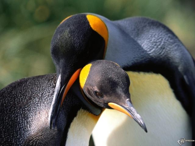 Пингвины обнимаются