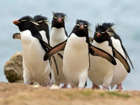 Обои Convention: Пингвины, Пингвины