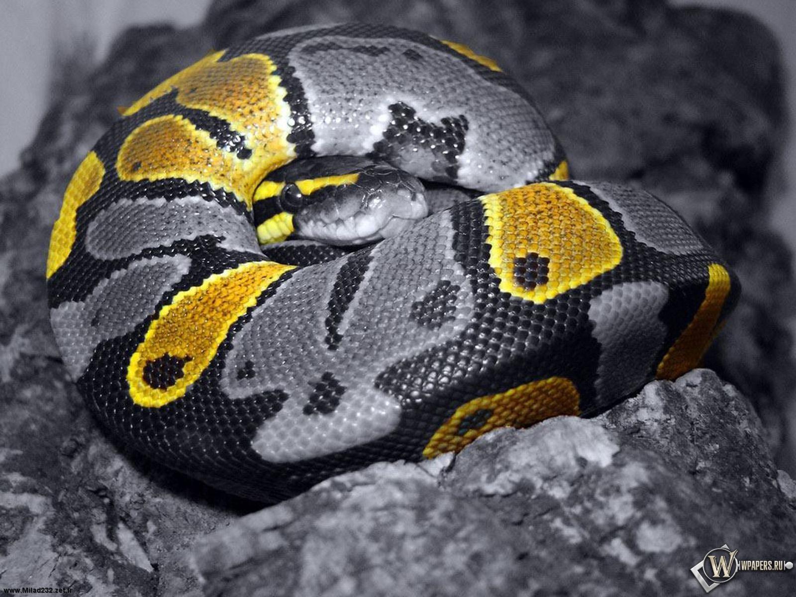 Серая Змея 1600x1200