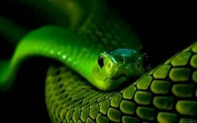 Обои Зеленая змея: Змея, Зелёный, Змеи