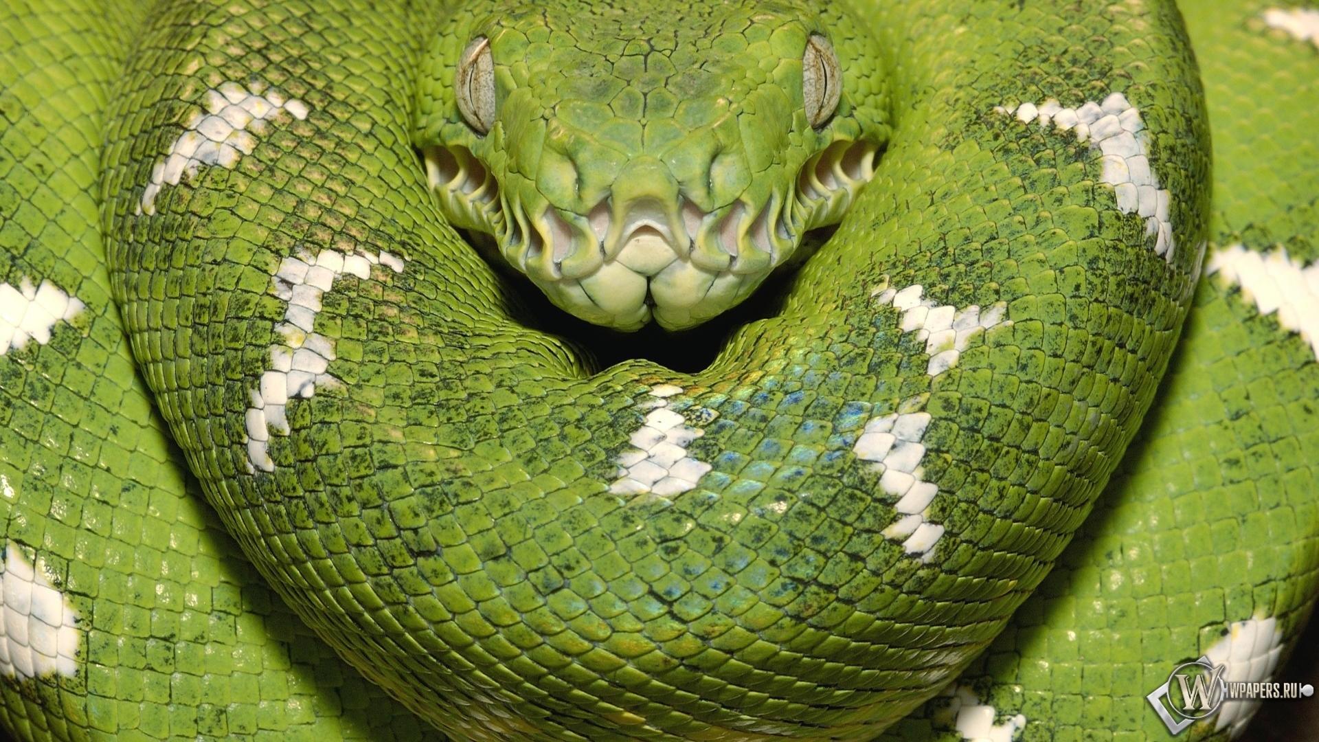 Зеленая змея 1920x1080