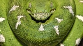 Обои Зеленая змея: Змея, Хищник, Зелёный, Змеи