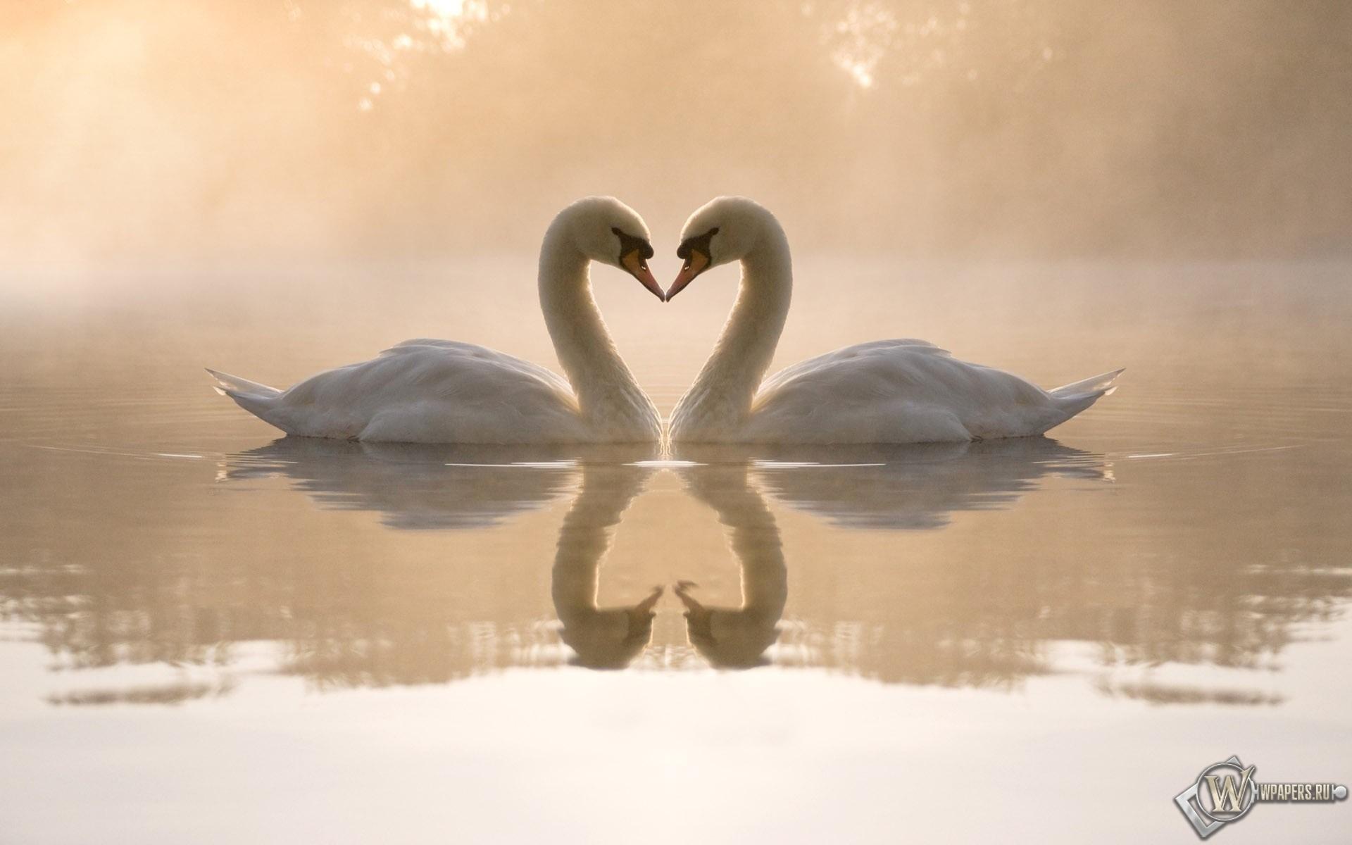 Два лебедя 1920x1200