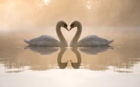 Обои Два лебедя: Вода, Любовь, Сердце, Туман, Вечер, Пруд, Пара, Лебеди, Лебеди