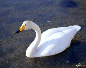 Обои Лебедь: , Лебеди