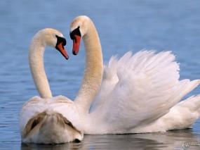 Обои Два лебедя: , Лебеди