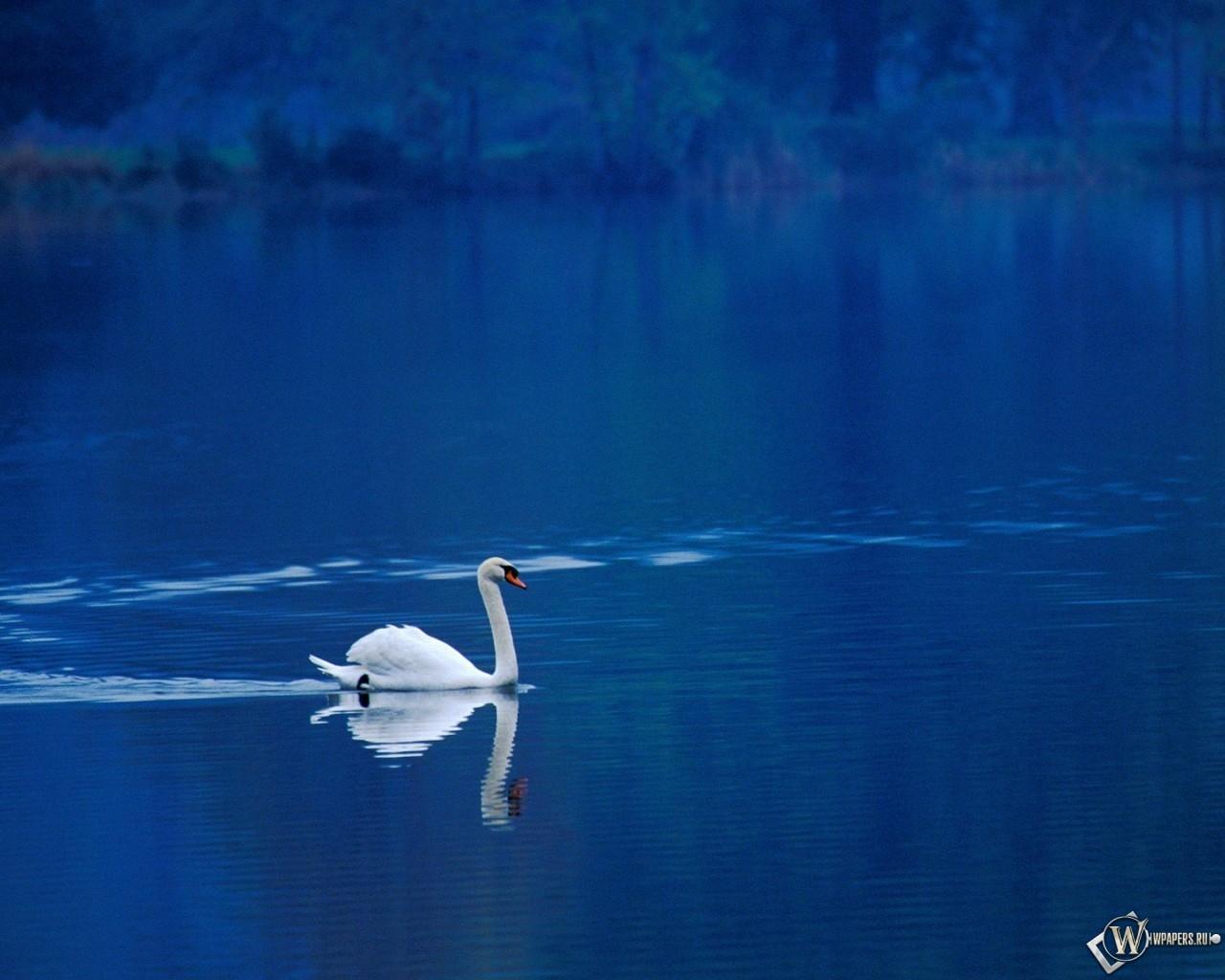 Одинокий лебедь на воде 1280x1024