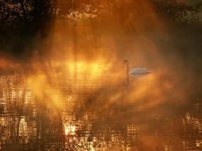 Обои Лебедь в озере: Озеро, Утро, Лебедь, Лебеди