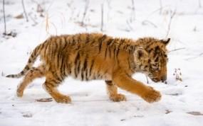 Обои Тигренок на снегу: Снег, Тигренок, Малыш, Тигры
