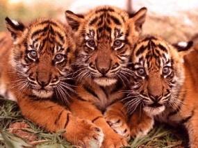 Обои Тигрята: Котята, Тигрята, Тигры