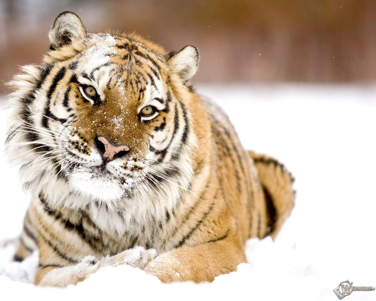 Тигр в снегу 1280x1024
