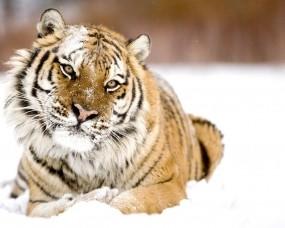 Обои Тигр в снегу: Снег, Морда, Тигр, Тигры