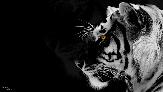 Black-white Tiger