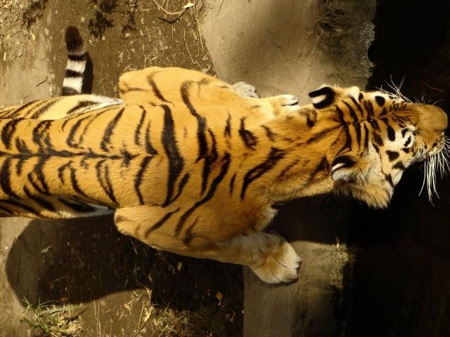 Спина тигра