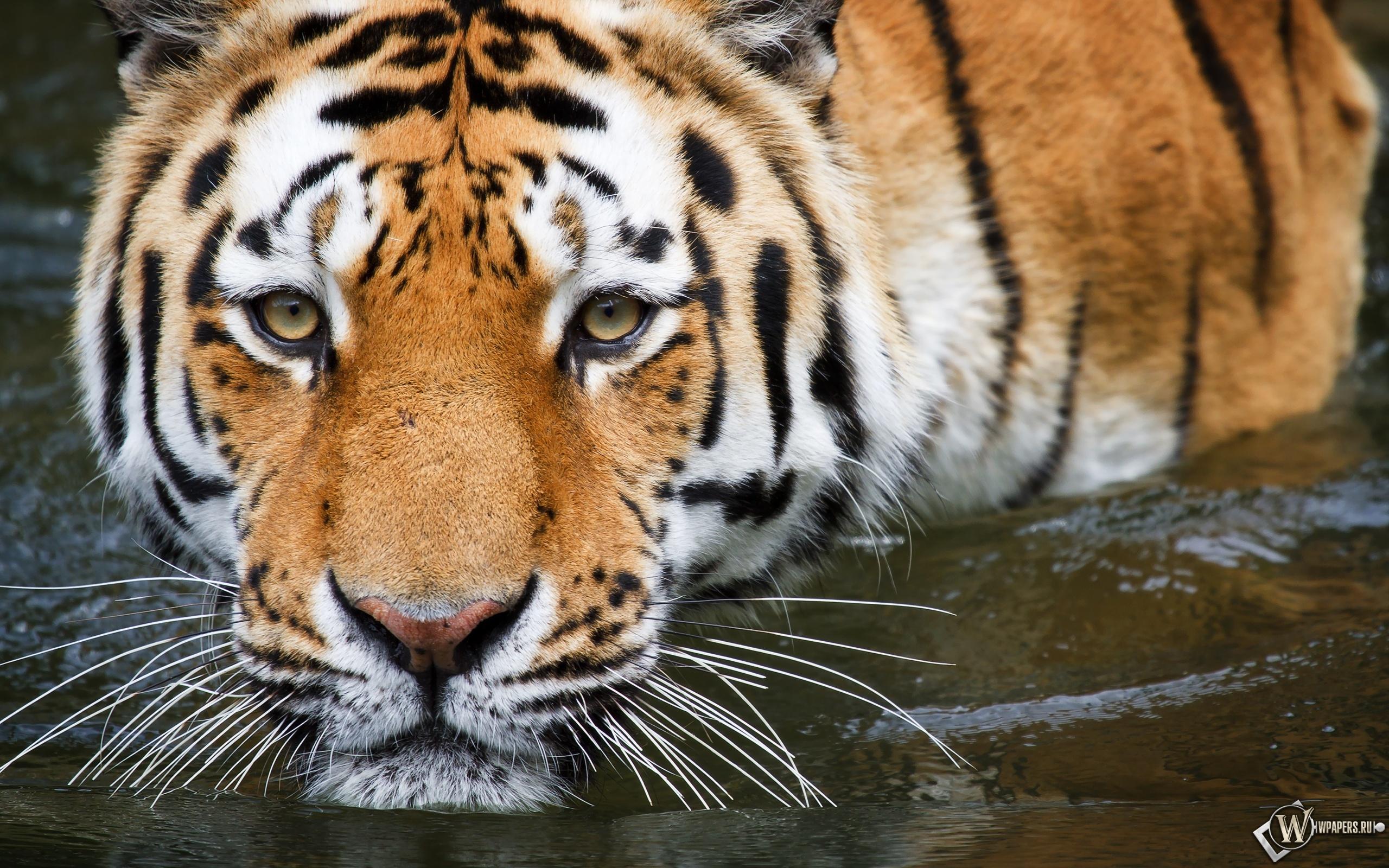 Взгляд тигра 2560x1600