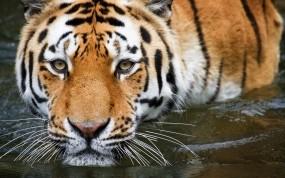 Обои Взгляд тигра: Вода, Тигр, купание, Тигры