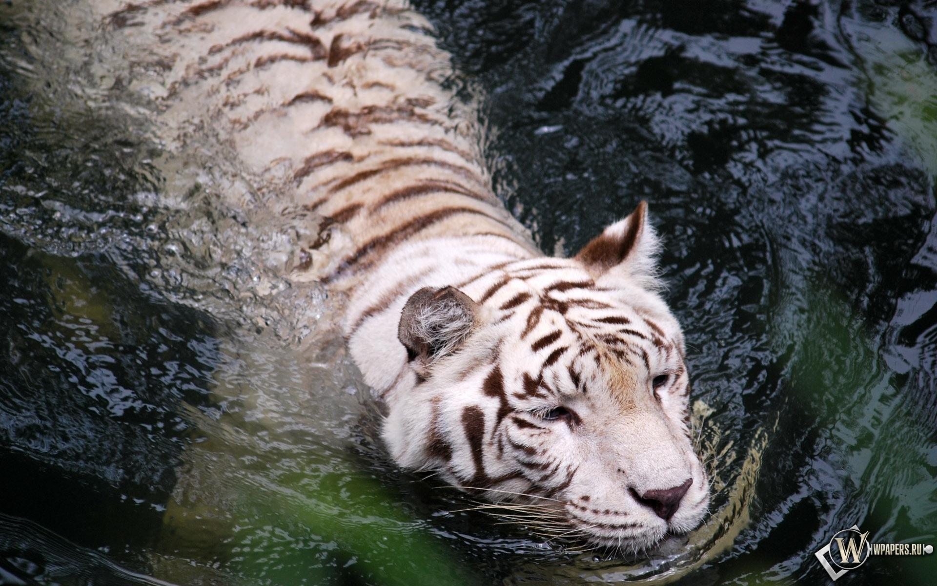 Плывущий тигр-альбинос 1920x1200