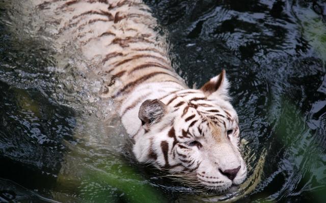 Плывущий тигр-альбинос