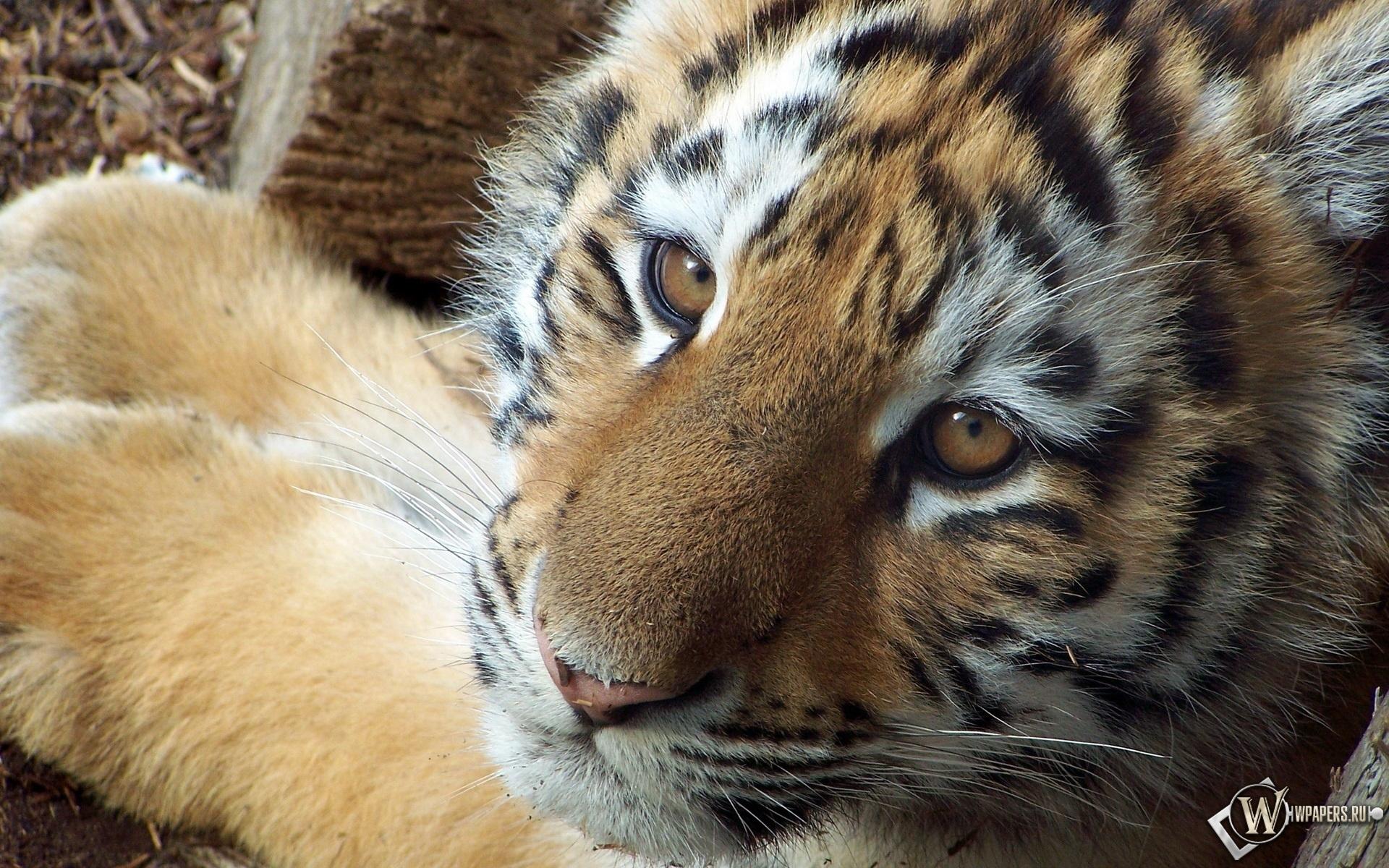 Симпатичный тигр 1920x1200