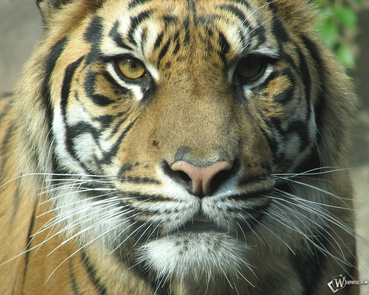 Взгляд тигра 1280x1024
