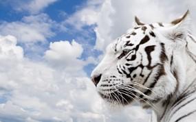 Обои Белый тигр: Облака, Небо, Тигр, Тигры