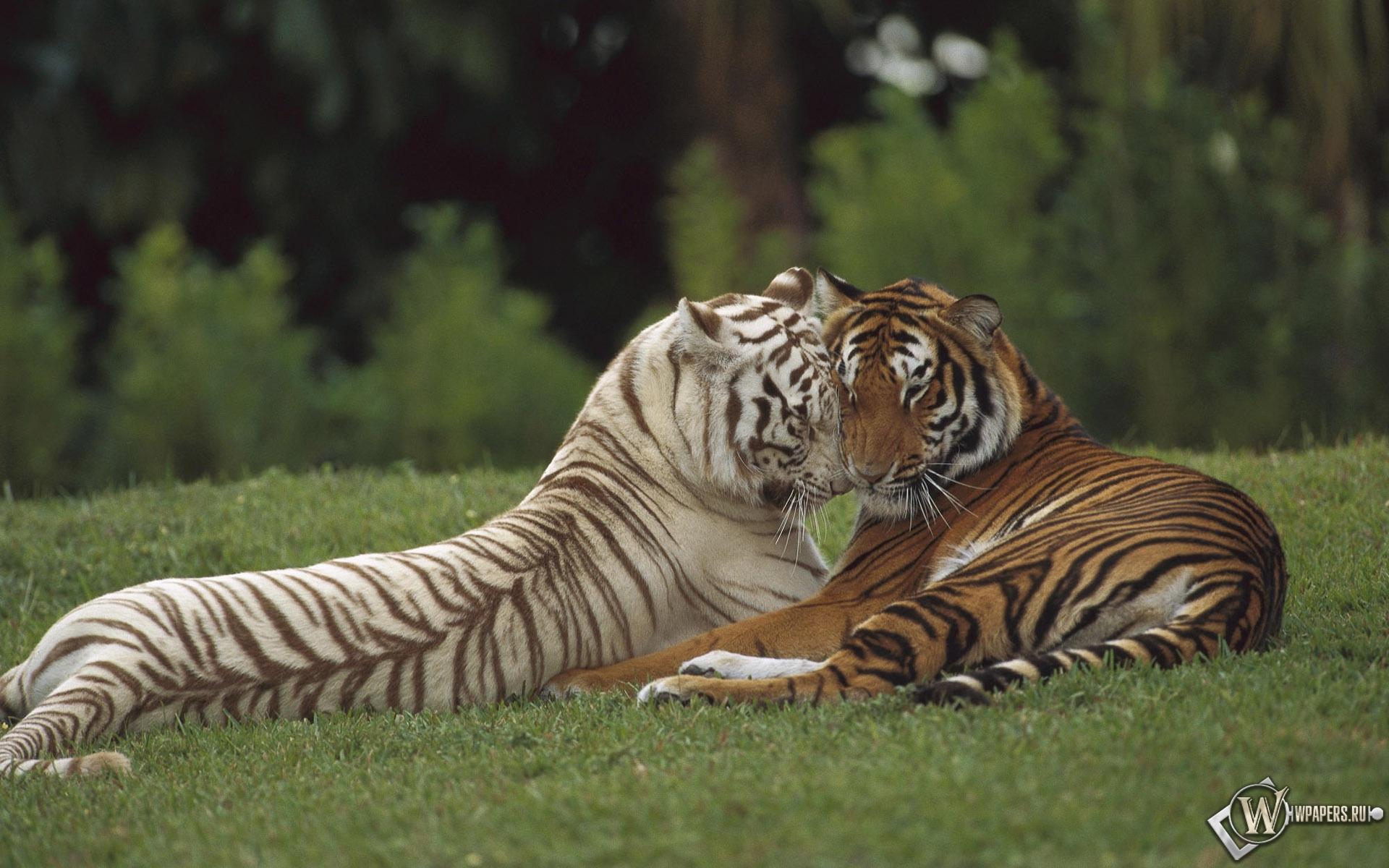 Тигры на отдыхе 1920x1200