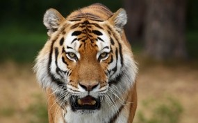 Обои Сибирский тигр на охоте: Хищник, Тигр, Тигры