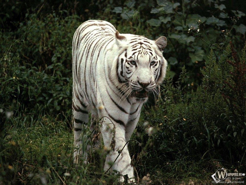 Белый тигр гуляет 1024x768