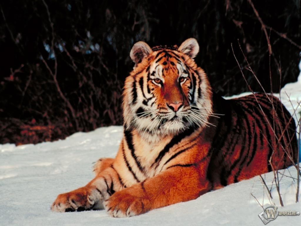 Тигр лежащий на снегу 1024x768
