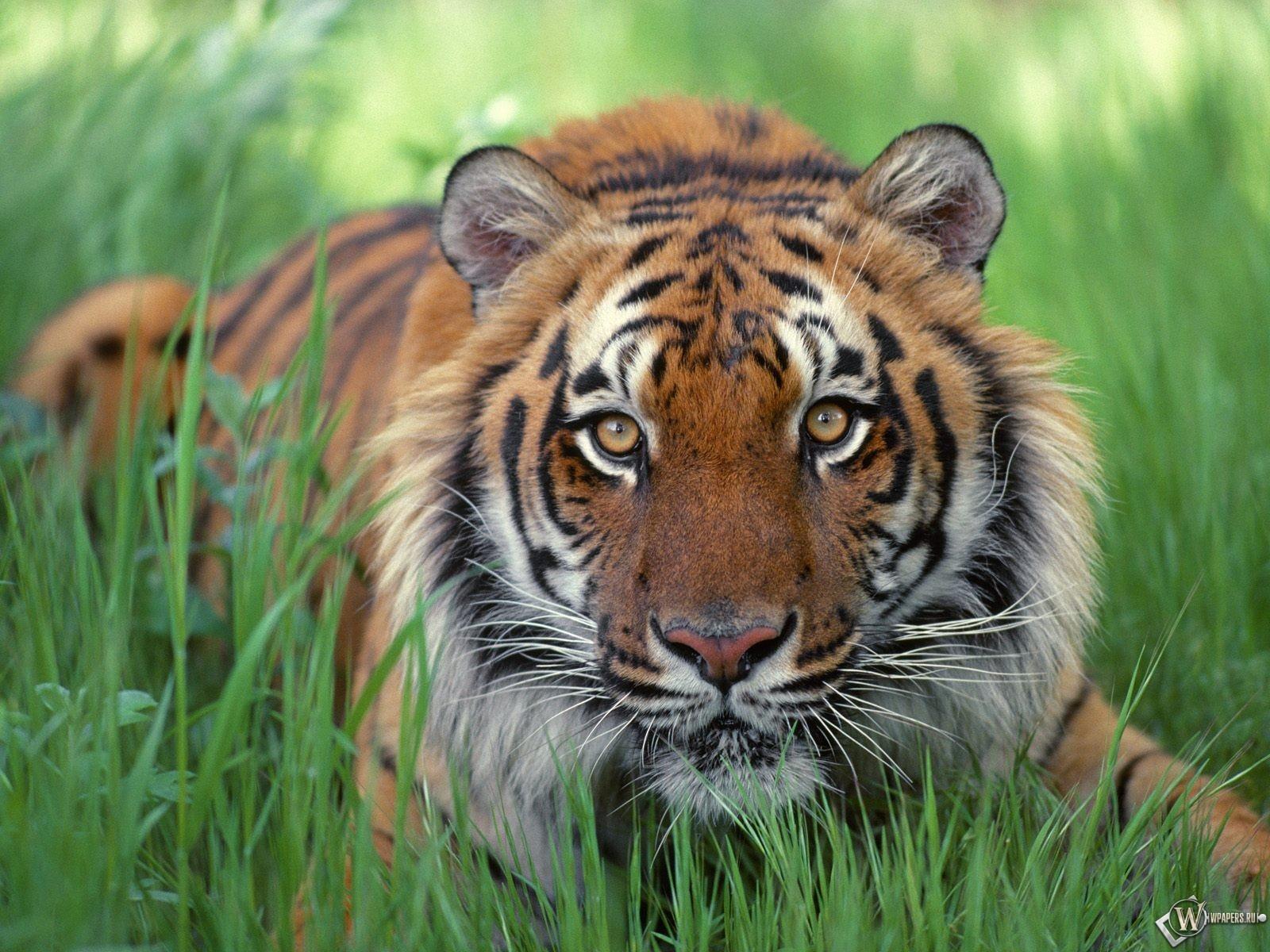 Тигр в травке 1600x1200