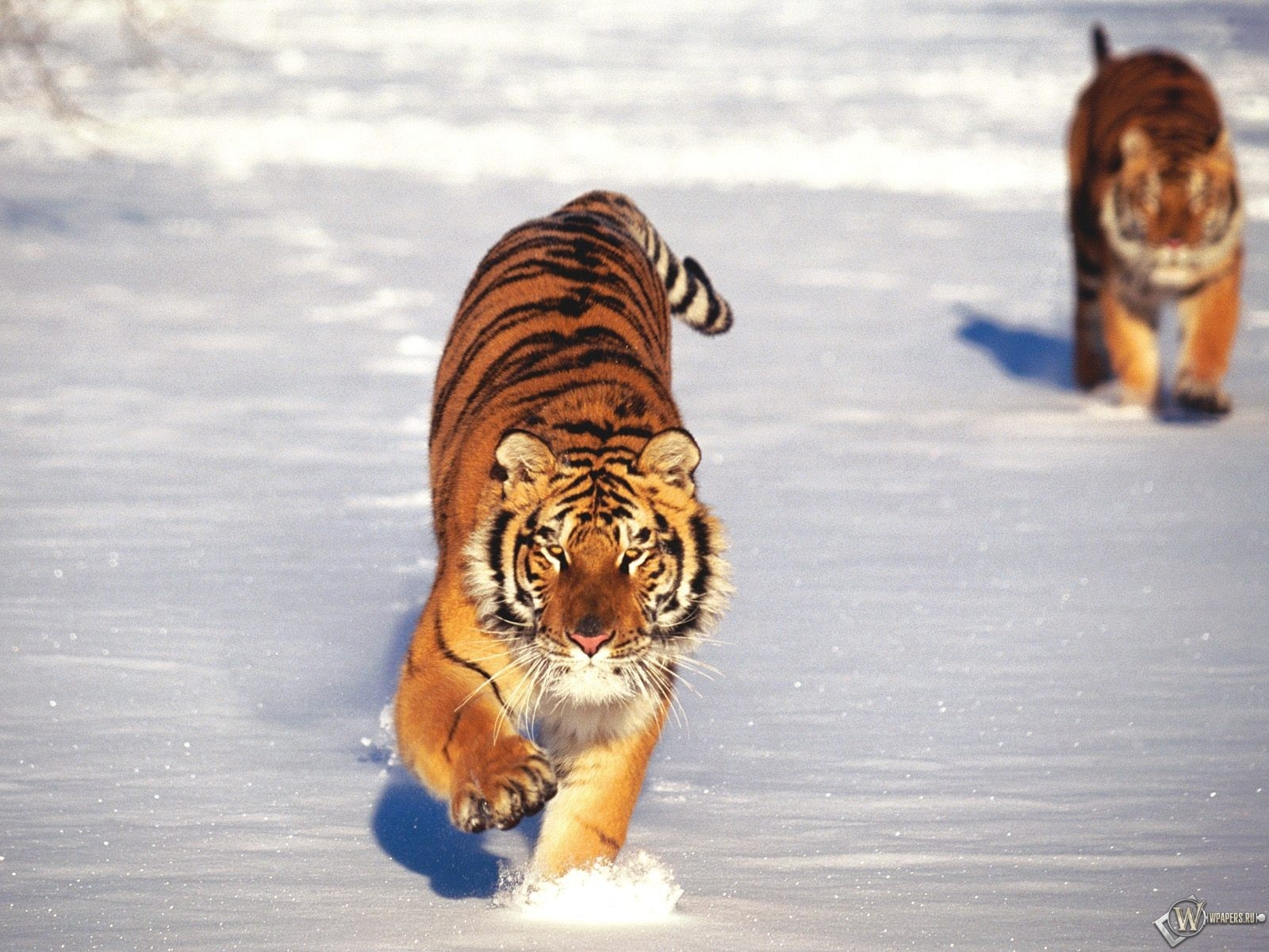 Два тигра бегущие по снегу 1600x1200