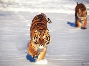 Обои Два тигра бегущие по снегу: Снег, Бег, Тигры, Тигры