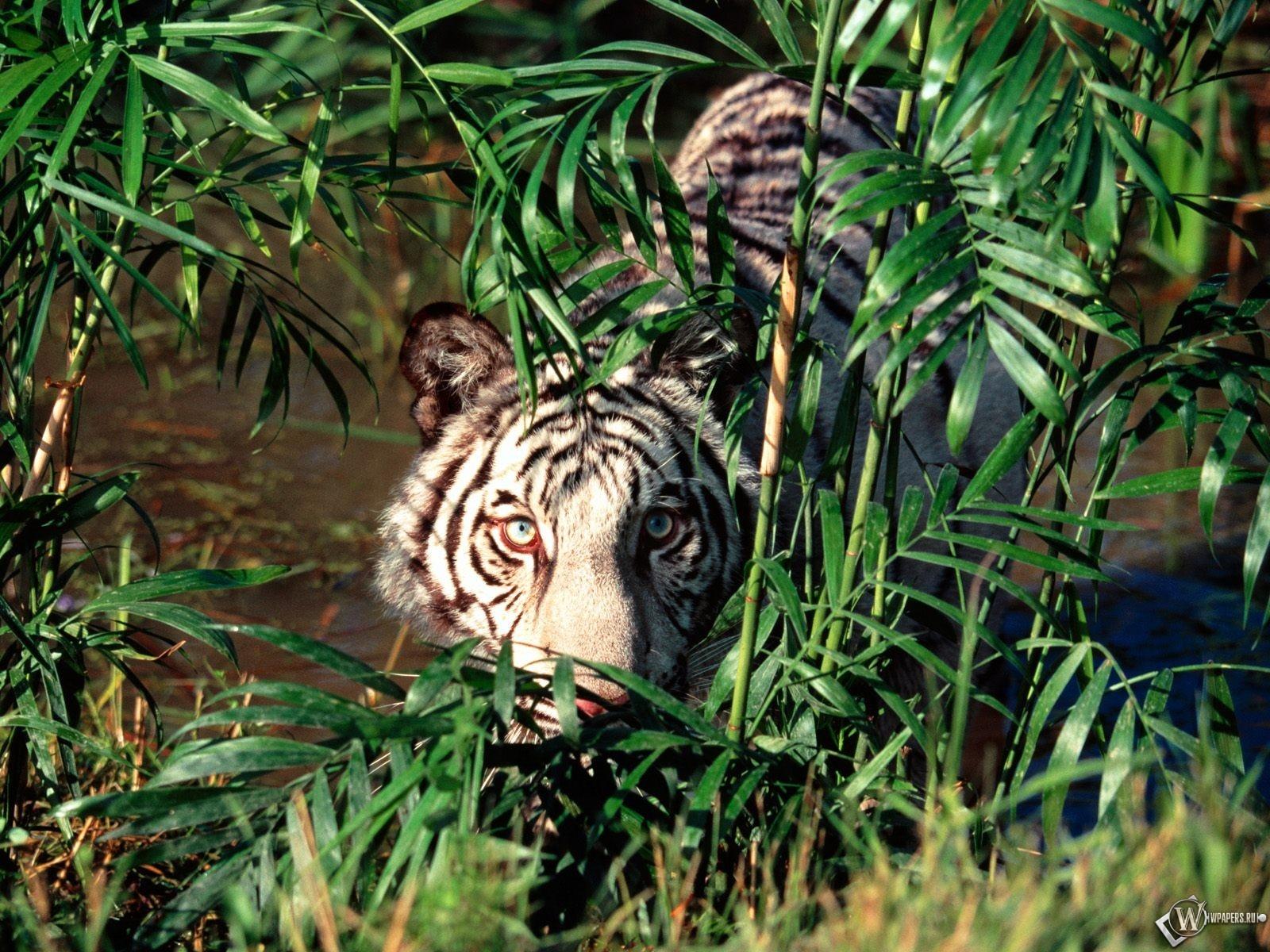 Белый тигр прячется за кустами 1600x1200