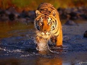 Обои Тигр идущий по воде: , Тигры