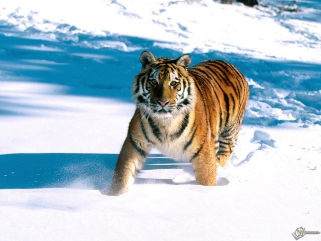 Тигр идущий по снегу