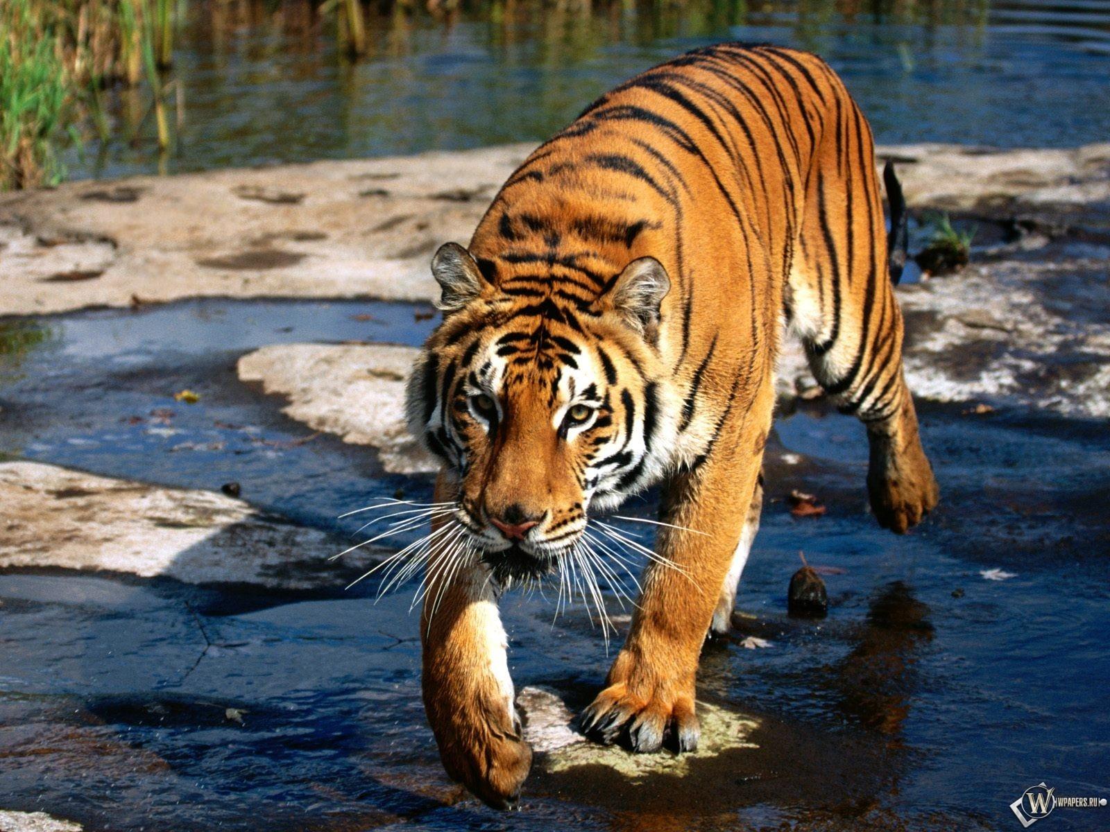 Тигр идущий через ручей 1600x1200