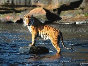 Обои Тигр стоящий на камне: , Тигры