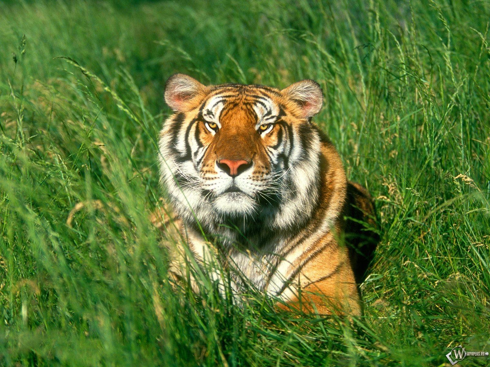 Тигр лежащий на травке 1600x1200