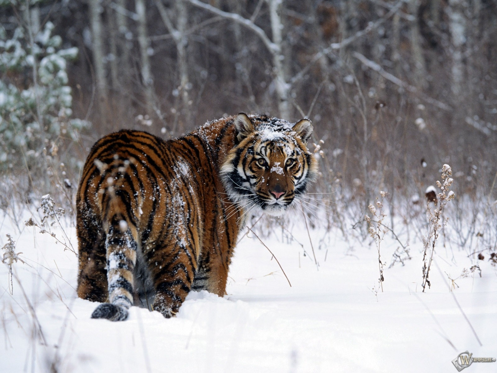 Тигр в снегу 1600x1200