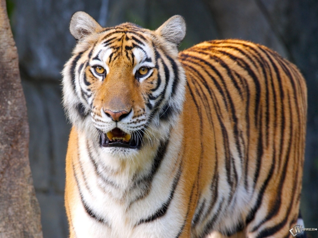Уставший тигр