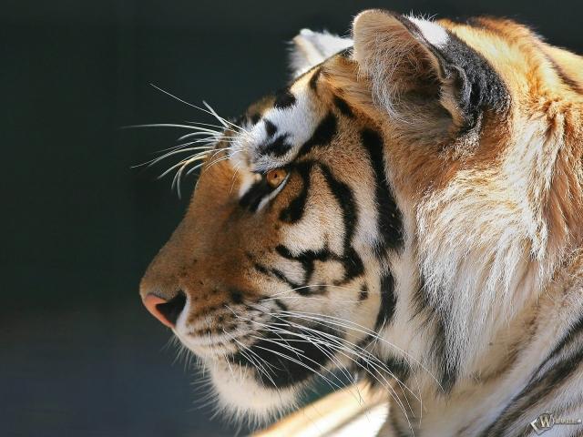 Морда тигра в профиль
