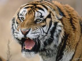 Обои Испуганный тигр: , Тигры