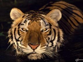 Обои Тигр - плывущий по воде: Морда, Тигр, Тигры