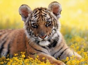 Обои Тигренок: Тигренок, Тигры