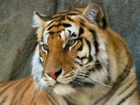 Обои Морда тигра: , Тигры