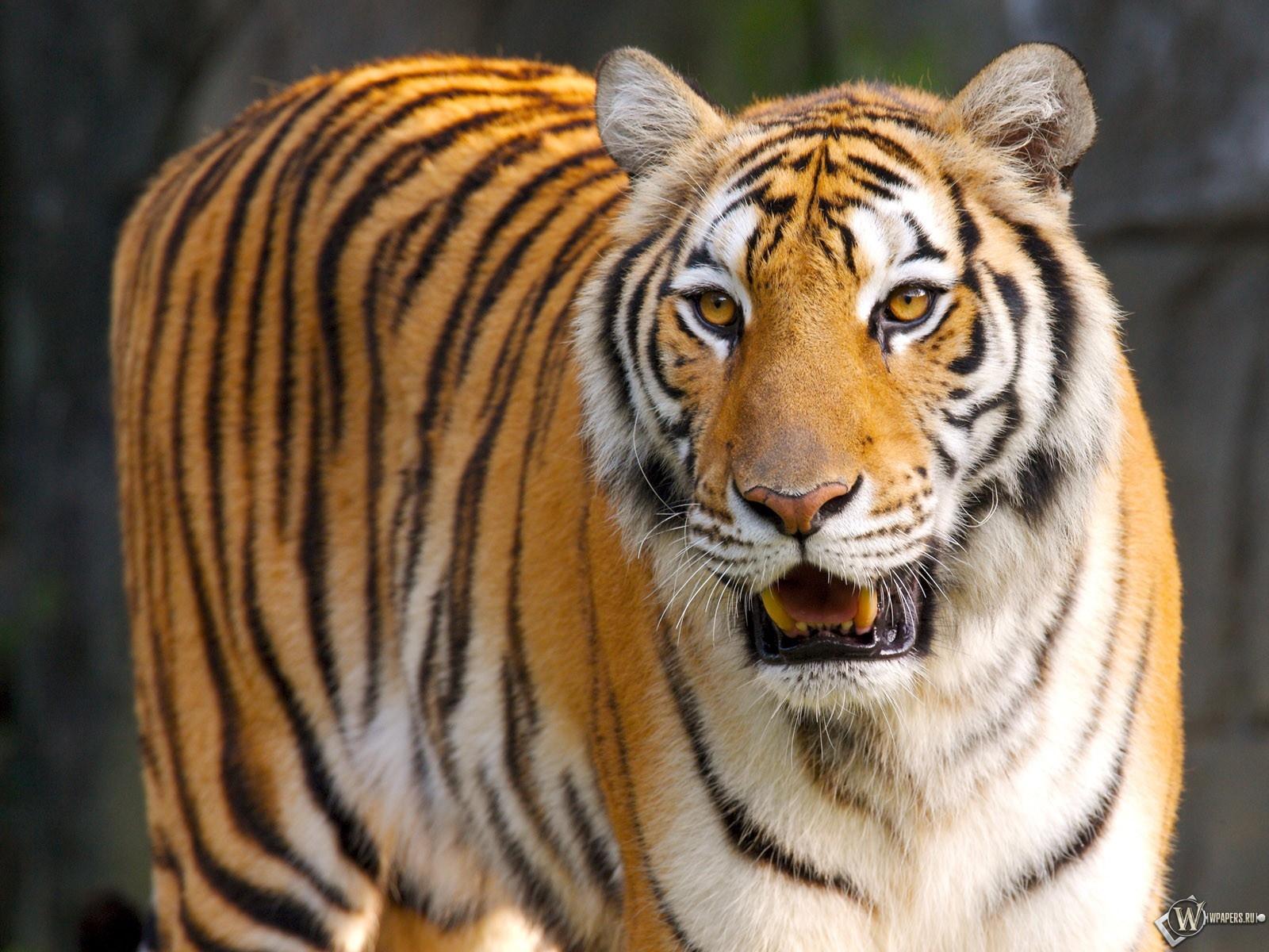 Уставший тигр 1600x1200
